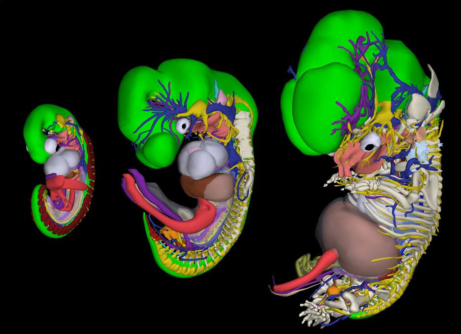 figuur-embryologieatlas